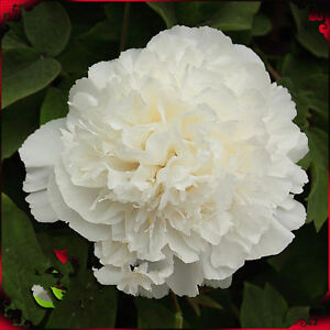 Lovely white flower chinas peony seeds paeonia suffruticosa tree image is loading lovely white flower china 039 s peony seeds mightylinksfo