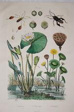GRAVURE COULEURS NELUMBO NENUPHAR DE SAINSON FRIES 1837 R1524