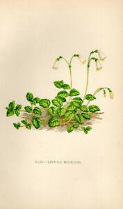 Lithographie-Linnaea-Original-1896-Motiv-Bild-Zeichnung-Moosgloeckchen-RARE