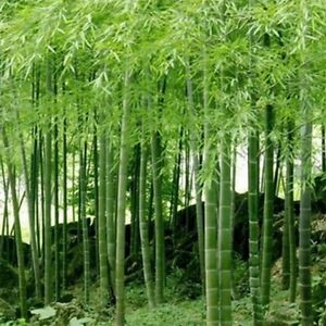 100-St-China-Phyllostachys-Riesenbambus-Samen-Moso-Bambus-Winterfest-Sichtschutz