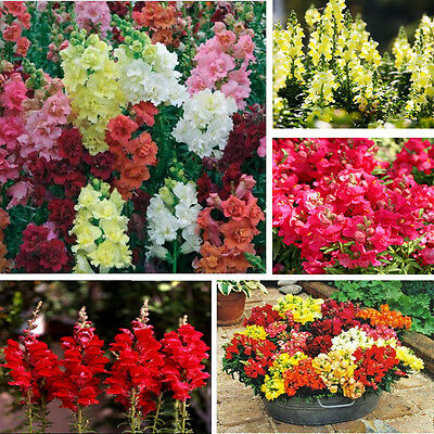 1000pcs Snapdragon Majus Antirrhinum Seeds Mixed Color Beatiful Flower Garden