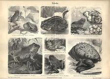 Stampa antica RANA RAGANELLA ROSPO PIPA Frogs Frosche 1890 Old antique print