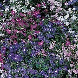 Details About Lobelia Regatta Mix Appx 3000 Seeds Bedding Plant Annuals