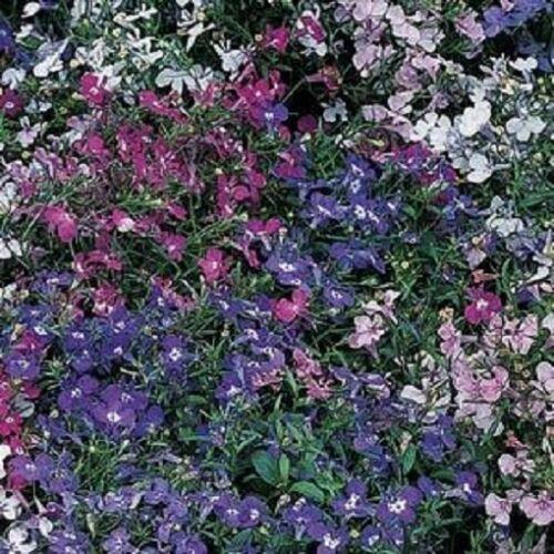 Annuals Bedding plant Lobelia Regatta Mix Appx 3000 seeds