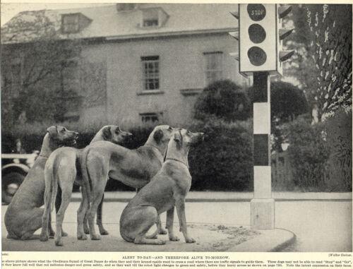 GREAT DANE DOGS WAIT AT TRAFFIC LIGHTS GREAT IMAGE OLD ORIGINAL 1934 DOG PRINT