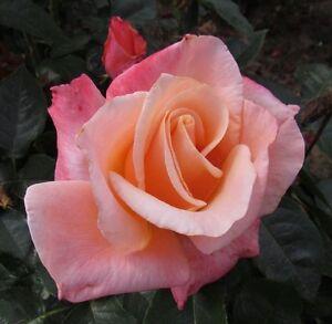 candy kisses 4lt potted hybrid tea garden bush rose pink apricot