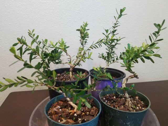 Harland Boxwood Bonsai Tree For Sale Online Ebay