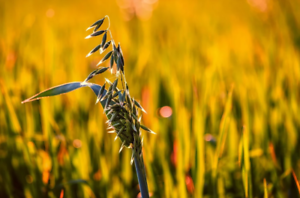 150//600 Seeds Oat Rude Avena Forestiera Strigosa Lean Productive Rapid