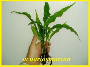 Planta-de-acuario-gambario-Helecho-de-java-microsorum-pteropus-3-rizomas