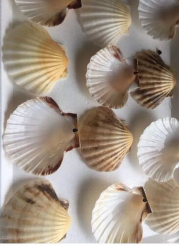 12 X Beautiful Large Scallop Shells..1113cm