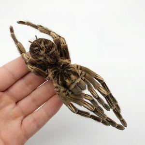 Large-A1-Taxidermy-Tarantula-Spider-Acanthoscurria-Juruenicola-Orange-Banded