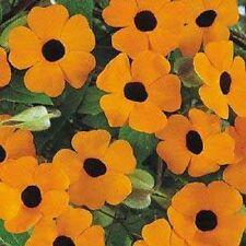 Thunbergia Alata Sunrise Orange 20 Seeds   Garden Seeds 2u