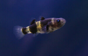 Live Peaceful Freshwater Fish 1 Bumblebee Goby Nano