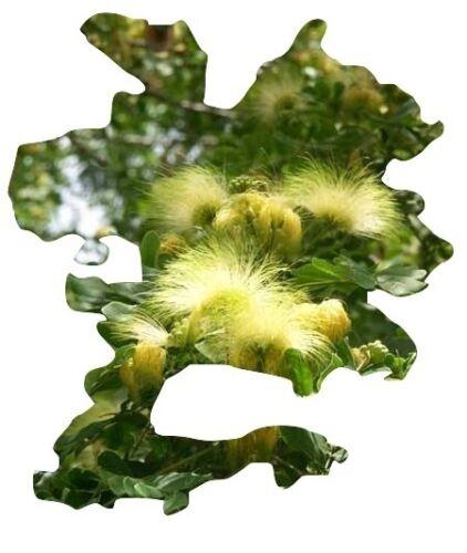10 Samen 10 seeds Mimosa Albizia Lebbeck Regenbaum
