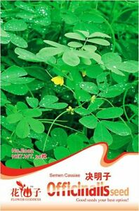 Original-Pack-30-Semen-Cassiae-Seeds-Cassia-Seed
