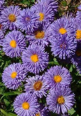 Erigeron Azure Fairy Seed Low Shrub Daisy-Like Blue Flowers Perennial Cut Flower