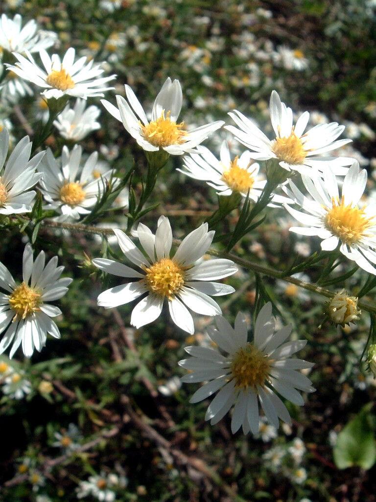 100 White Heath Aster Prairie Ericoides Flower Seeds Ebay