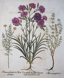 HORTUS-EYSTETTENSIS-BESLER-NELKE-THYMIAN-ZYPRESSENKRAUT-CARYOPHYLL-PLENUS-1713