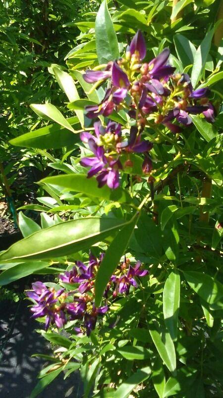 Plantas Flores Púrpura Wisteria árbol 5 Gal. planta de flores crecen árboles ahora