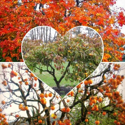 Fruit Tree Persimmon sweet hardy large fruits Beautiful all times of year!