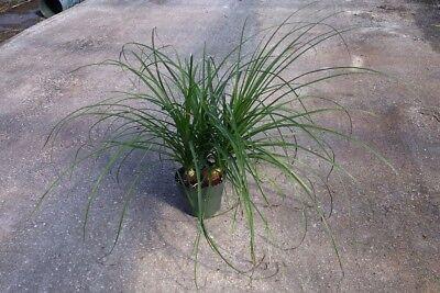10 Seeds #9523 Nolina excelsa Beargrass