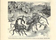 Stampa antica INSETTI RAGNO e SCORPIONE IN LOTTA INSECTA 1891 Old antique print