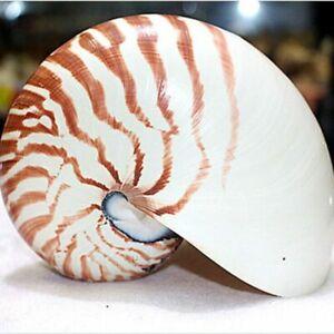 13cm-Rara-Natural-Pearly-Tornillo-Nautilus-Concha-Conchas-Mar-Caracol-Coleccionables-De-Coral