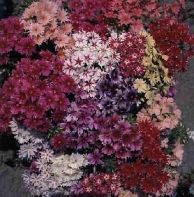 Phlox Twinkle Star Beautiful Mixed Colors 50 Seeds Hummingbirds Butterflies!