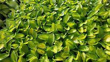 Hosta, Rainforest Sunrise, starter plant liner Hosta of the Year shade gardens