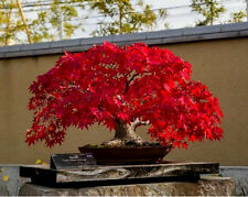 Total 15 Seeds,Bonsai Japanese Red Maple Tree Seeds+Red-Black Rose Seeds