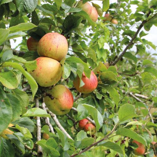Apple Fruit Tree Garden Plant M27 /'Bramley/'s Seedling/' 1 x Bare Root Tree T/&M