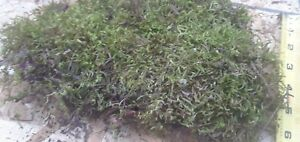 Green-Cushion-Moss-by-the-pound-for-Terrariums-and-plants