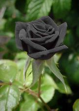 ROSA NERA - BLACK ROSE, 10 SEMI A PREZZO SPECIALE