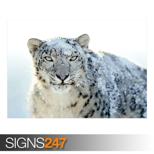 Photo Poster Print Art A0 A1 A2 A3 A4 SNOW WHITE LEOPARD Animal Poster 3524