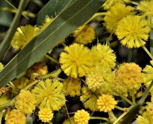A40-5x6, 5x15 1 de Plante Acacia Saligna Mimosa