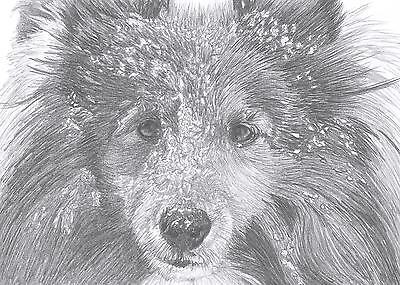 SHELTIE/ROUGH COLLIE Shetland Sheepdog LE art drawing print  2 sizes A4/A3 &Card