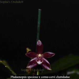 TS1020.140 Phal. Meen Estrella (Phal speciosa x cornu-cervi) Bare Root T549