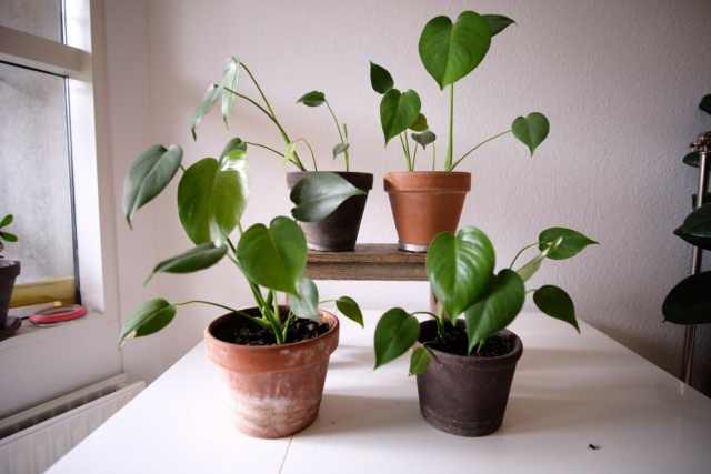 stueplanter, monstera deliciosa, baby og flot monstera…