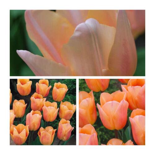 Pré-commande-Apricot Beauty x 10 Bulbes de tulipes Belle Rose Saumon Fleurs printanières