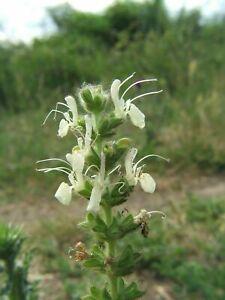 Austrian-sage-Salvia-austriaca-25-seeds-Semillas-Graines-Samen