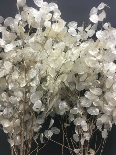 Silberblatt Lunaria Judaspfennig Mondviole Silbertaler Silberling 20 Samen