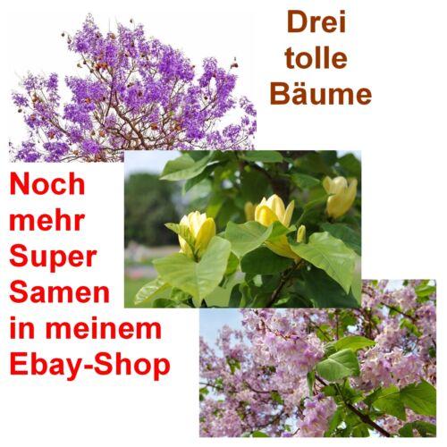 tulipani ALBERO E BLU CAMPANA 3 albero semi-varietà super conveniente! Palissandro