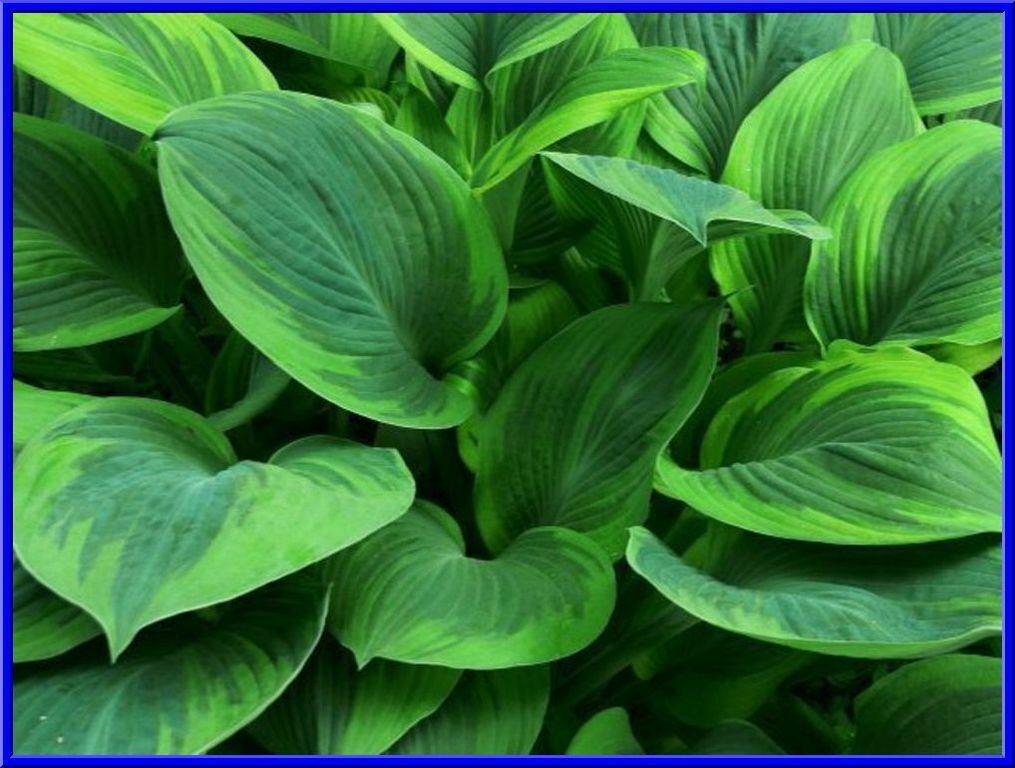 Dark Green w// Light Green Edges Hosta Seeds MANY HOSTA SEEDS IN OUR STORE!