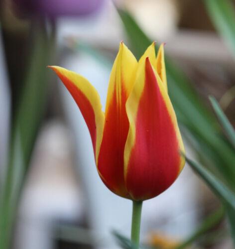 10 oder 20 Lilienblütige Tulpen Synaeda King Blumenzwiebeln Lieferbar ab 9.9.19