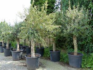 2x Olivenbaum Stammumfang 20 - 30 cm + 1x Intex Pool 262 x 175 x 56 cm