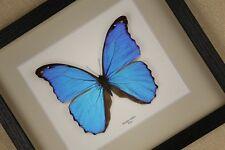 Morpho didius - echter Schmetterling im Schaukasten/Rahmen hinter Glas