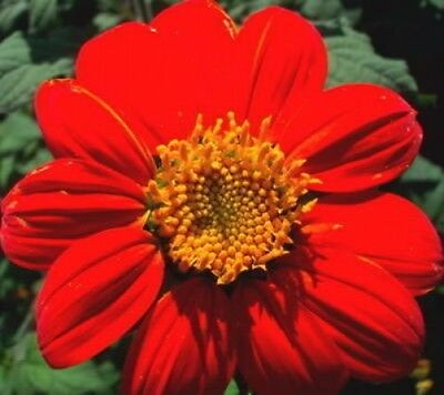 50 MEXICAN SUNFLOWER TORCH Tithonia Rotundifolia Flower Seeds + Gift & Comb S/H