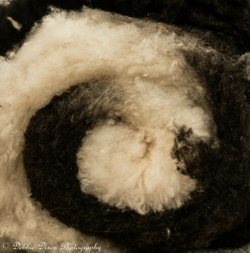Raw Jacob Sheep Fleeces   From our Pedigree flock Various Colours /& Amounts