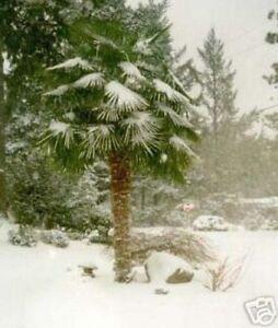 Palmesamen-die-Hanfpalme-die-winterharte-Gartenpalme
