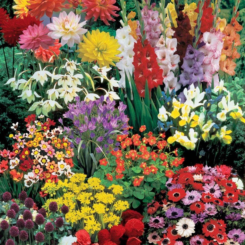 190 Bulbi da Fiore - Lunga fioritura al sole (MASSIMA DIMENSIONE)